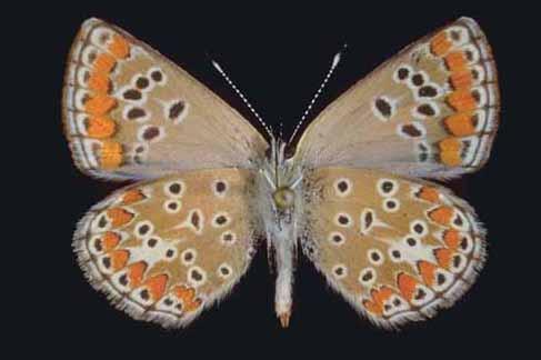 Esemplare di Aricia agestis